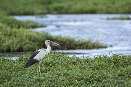 oscitans: Asian openbill standing in the grass, Sri lanka