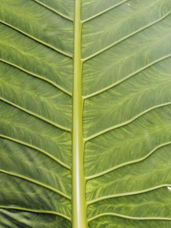 mook: Detail of an exotic leaf at Koh Mook Island, Thailand