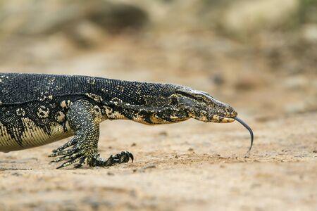 lagarto: especie Varanus salvator
