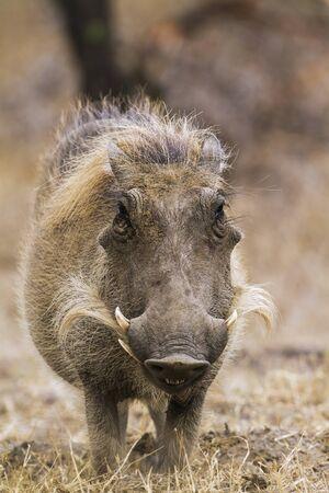 Specie Phacochoerus africanus family Suidae, warthog