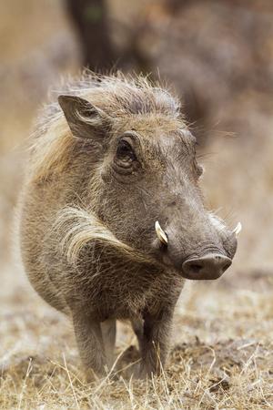 Specie Phacochoerus africanus family Suidae, common warthog Reklamní fotografie - 48122955