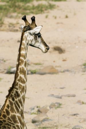giraffa camelopardalis: Specie Giraffa camelopardalis, giraffe in the bush Stock Photo
