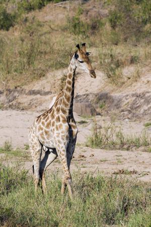 giraffa camelopardalis: Specie Giraffa camelopardalis, african giraffe standing in the bush, Kruger Park