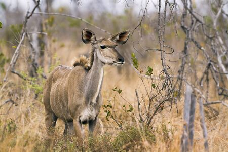 bovidae: Specie Tragelaphus angasii family of bovidae, greater kudu in savannah