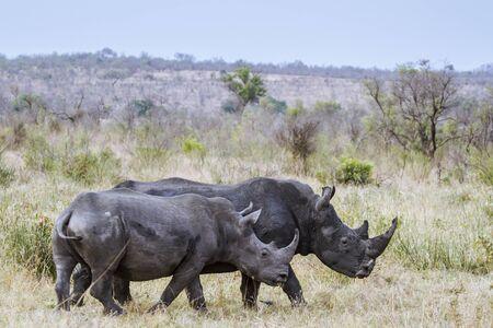 specie: Specie Ceratotherium simum simum family of Rhinocerotidae, white rhinoceros in South Africa Stock Photo