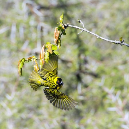 nesting: Specie Ploceus cucullatus family of Ploceidae, village weaver nesting
