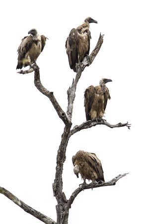 accipitridae: Specie Gyps coprotheres family of Accipitridae,  hooded vultures perched on a branch
