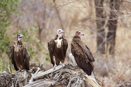 accipitridae: Specie Aegypius monachus family of Accipitridae, hooded vultures perched on a branch