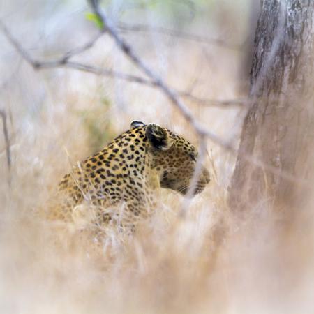 pardus: Specie Panthera pardus family of felidae, leopard hiden in the bush
