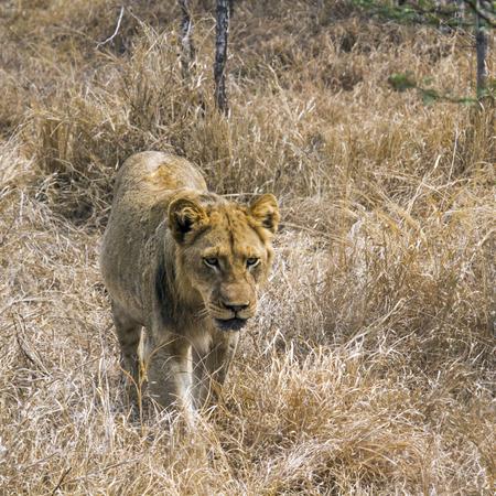 felidae: Specie Panthera leo family of felidae, young male lion walking in savannah