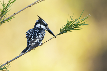 alcedinidae: Specie Ceryle rudis family of  Alcedinidae, pied kingfisher on a branch Stock Photo
