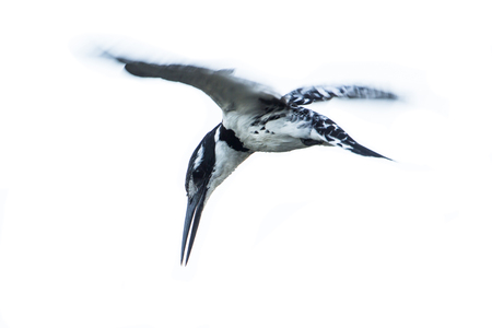 alcedinidae: Specie Ceryle rudis family of  Alcedinidae, pied kingfisher flying and hunting Stock Photo