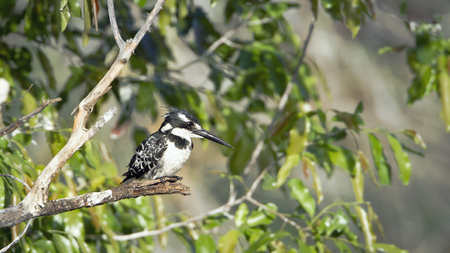 alcedinidae: Specie Ceryle rudis family of Alcedinidae, pied kingfisher on a branch