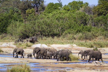 loxodonta africana: Specie Loxodonta africana family of Elephantidae, family of wild  african bush elephants in the riverbank