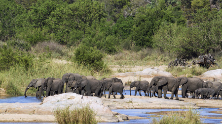 loxodonta africana: Specie Loxodonta africana family of Elephantidae, group of  african bush elephants in the riverbank