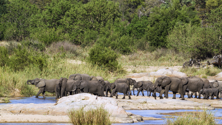 loxodonta africana: Specie Loxodonta africana family of Elephantidae,  african bush elephants in the riverbank Stock Photo