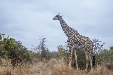 horizontal format: wild giraffe standing in the savannah, horizontal format