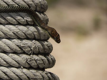 sea snake: head of paradise tree snake or paradise flying snake on a rope in Koh Adang, Thailand Stock Photo