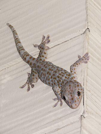 tokay gecko: gecko gecko, tokay gecko hunting in Koh Adang, Island, Thailand Stock Photo