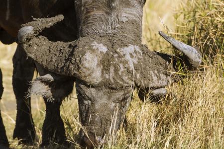 bovidae: Specie Syncerus caffer family of bovidae, african buffalo in the bush