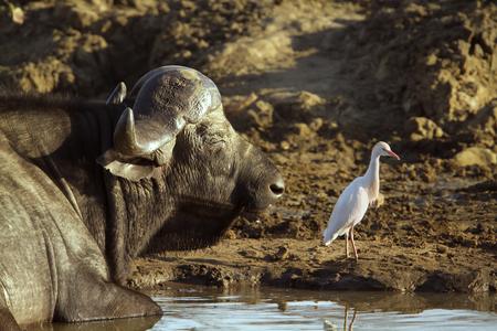 bovidae: Specie Syncerus caffer family of bovidae, african buffalo in the bush and cattle egret