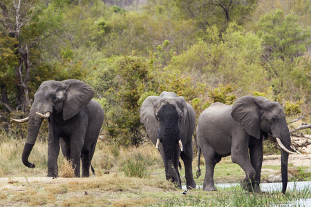 loxodonta: Specie Loxodonta africana, group of african bush elephants walking in the riverbank