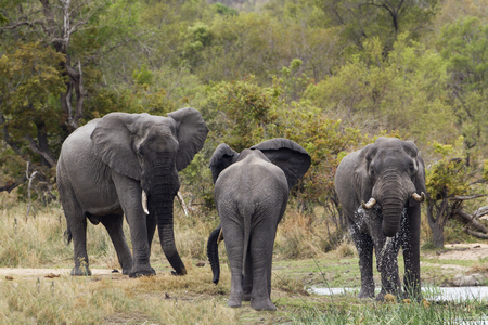 loxodonta: Specie Loxodonta africana , group of african bush elephants walking in the riverbank