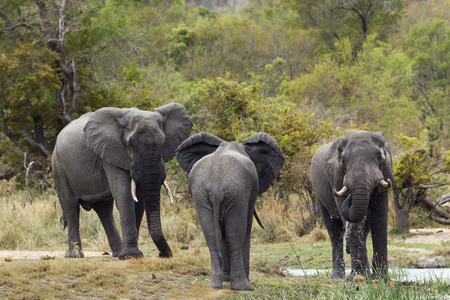 loxodonta africana: Specie Loxodonta africana , group of african bush elephants walking in the riverbank