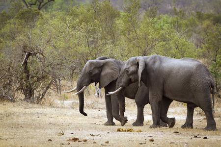 Specie Loxodonta africana,  african bush elephants walking in the riverbank