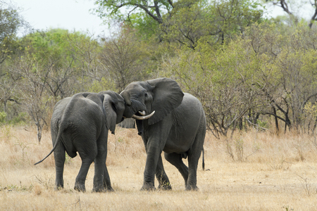 loxodonta: Specie Loxodonta africana,  african bush elephants fighting in the riverbank