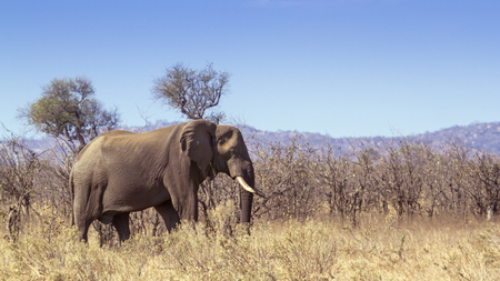 africana: Specie Loxodonta africana,  african bush elephants walking in savannah