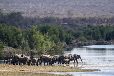 specie: Specie Loxodonta africana,  african bush elephants walking in the riverbank