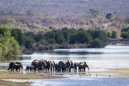 loxodonta africana: Specie Loxodonta africana ,  african bush elephants walking in the riverbank