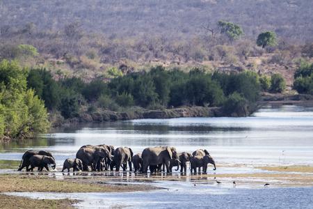 specie: Specie Loxodonta africana ,  african bush elephants walking in the riverbank