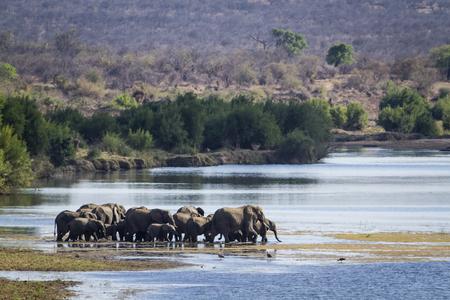 Specie Loxodonta africana family of Elephantidae,  african bush elephants walking in the riverbank Reklamní fotografie - 49148574
