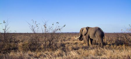 africana: Specie Loxodonta africana family of Elephantidae, african bush elephant walking in savannah Stock Photo