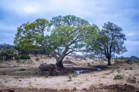specie: Specie Loxodonta africana family of Elephantidae, wild african elephant takind mud bath