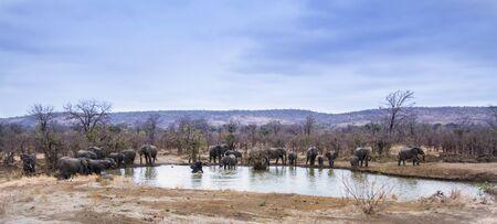 specie: Specie Loxodonta africana family of Elephantidae, group of african bush elephants on a pond