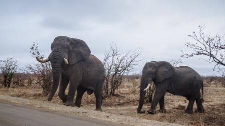 specie: Specie Loxodonta africana family of Elephantidae, african bush elephants crossing the road