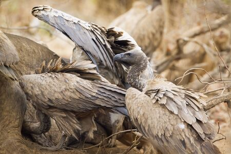 accipitridae: Specie Gyps coprotheres family of Accipitridae, cape vultures fighting