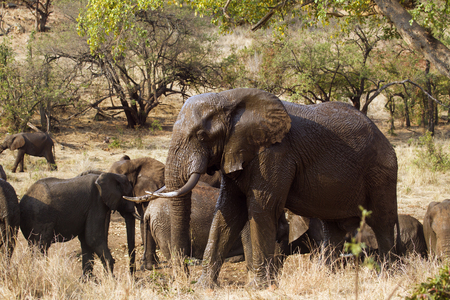 africana: Specie Loxodonta africana family of Elephantidae, group of african bush elephants in savannah Stock Photo