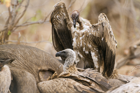 accipitridae: Specie Gyps coprotheres family of Accipitridae, cape vultures in Kruger Park