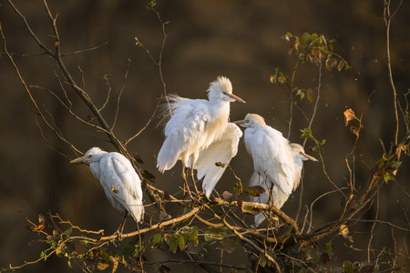 ardeidae: Specie Bubulcus ibis family of ardeidae, cattle egrets on a branch, Kruger park Stock Photo