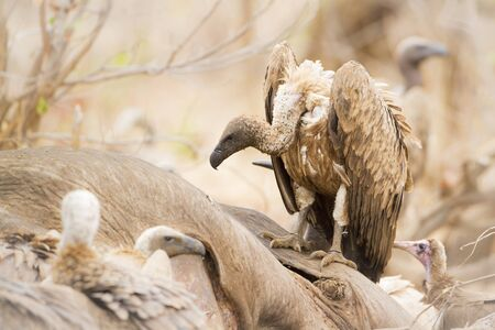accipitridae: Specie Gyps coprotheres family of Accipitridae, cape vulture in Kruger Park