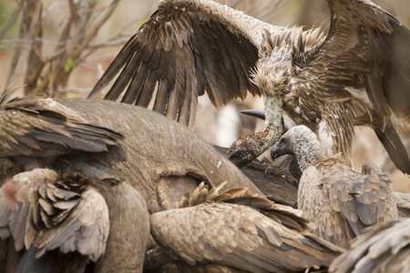 accipitridae: Specie Gyps coprotheres family of Accipitridae, cape vultures on a dead animal