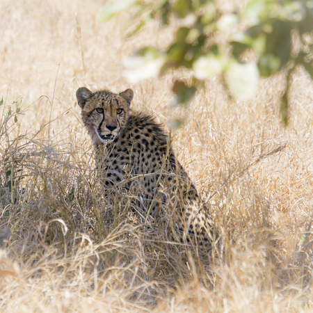 jubatus: Specie Acinonyx jubatus family of Felidae, two cheetahs in the bush Stock Photo