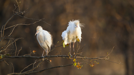 ardeidae: Specie Bubulcus ibis family of ardeidae, cattle egrets on a branch