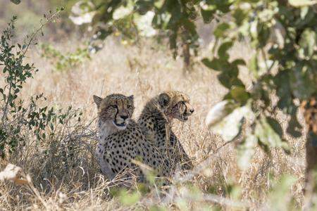 felidae: Specie Acinonyx jubatus family of Felidae, two cheetahs in the bush Stock Photo