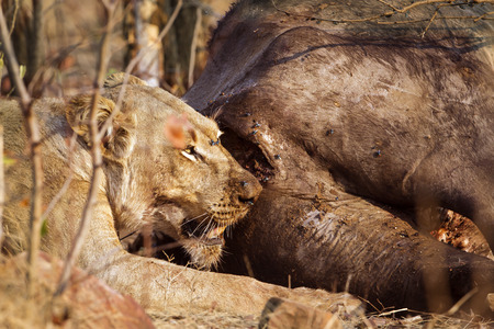 felidae: Specie Panthera leo family of felidae, lioness eating a dead buffalo