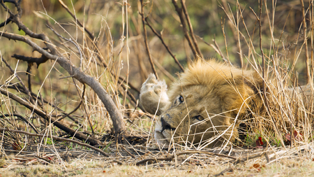 felidae: Specie Panthera leo family of felidae, male lion in the bush